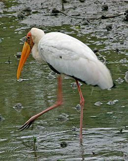 Milky Stork (Mycteria cinerea).jpg
