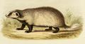 Milne Edwards - Meles leucurus leucurus.png