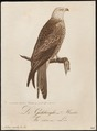 Milvus regalis - 1800-1812 - Print - Iconographia Zoologica - Special Collections University of Amsterdam - UBA01 IZ18200326.tif