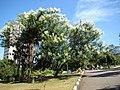 Mimosa bimucronata in Ceret São Paulo 003.jpg