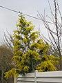 Mimosa de la coulée verte de Colombes D2015-03-22 b.jpg