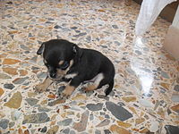Miniature Pinscher puppy.JPG