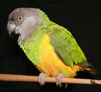 English: Senegal Parrot Deutsch: Mohrenkopfpapagei