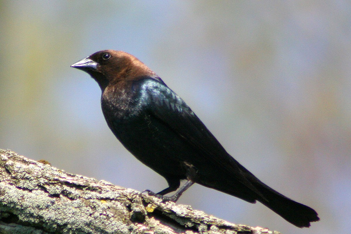 Image result for brown-headed cowbirds