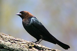Brown-headed cowbird - Adult male