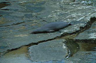 Monk seal - Hawaiian monk seal hauled out on volcanic rock