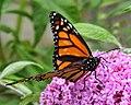 Monarch Butterfly (6693851453).jpg