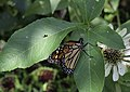 Monarch butterfly - male injured NBG LR.jpg