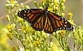 Monarch or Milkweed Butterfly. Danaus plexippus (33124984925).jpg