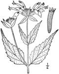Monarda clinopodia drawing 1.png