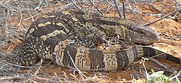 Monitor lizard in Kalahari.JPG