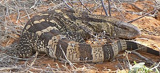 Monitor lizard - Rock monitor (Varanus albigularis)