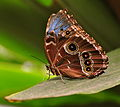 Morpho peleides wings closed (blue morpho butterfly) (3355325172) (cropped).jpg