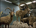 Mountain Goats and Ibex (15526436660).jpg