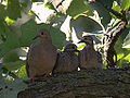Mourning Doves (7682235024).jpg