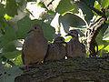 Mourning Doves (7682235024).jpg