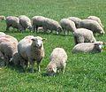 Moutons juillet 2006.jpg