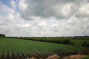 Sapric - Onion fields near Elba, New York, part of Torrey Farms, showing black dirt and windbreaks.