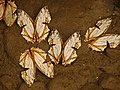 Mud-puddling of Cyrestis thyodamas Doyère, 1840 – Map Butterflies.jpg