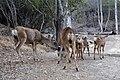 Mule Deer (Odocoileus hemionus) (9).jpg
