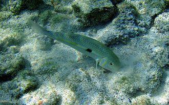 Goatfish - Image: Mulloidichthys flavolineatus