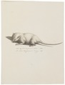 Mus agrestis virginianus albus - 1700-1880 - Print - Iconographia Zoologica - Special Collections University of Amsterdam - UBA01 IZ20500113.tif