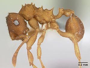 Präparierte Mycocepurus smithii -Arbeiterin