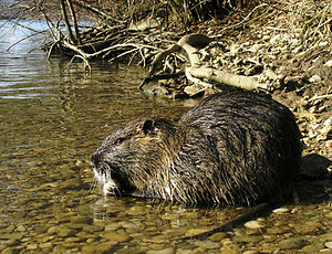 Nutria am Fluss Ljubljanica in Slowenien