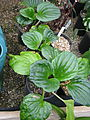 Myosotidium hortensia (16430285317).jpg