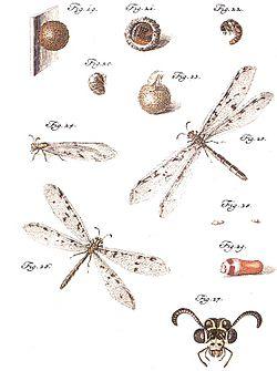 Myrmeleontidae roesel.jpg