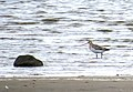 Myrspov Bar-tailed Godwit (14796661629).jpg