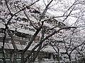 NDL Tokyo with sakura 20080328.jpg