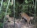 NMBE Tiger.jpg