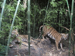 Natural History Museum of Bern - The tiger diorama, located in Asian Mammals