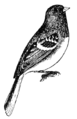 NSRW White-Winged Junco.png