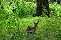 Nagarhole National Park, Kodagu 6982.JPG