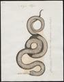 Naja haje - 1700-1880 - Print - Iconographia Zoologica - Special Collections University of Amsterdam - UBA01 IZ11800071.tif