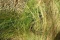 Nassella lenuissima 0zz.jpg