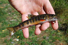 Hand holding small trout