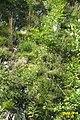 Natural rockery (Heit.) (24016669913).jpg