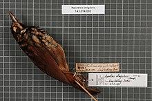 Центр биоразнообразия Naturalis - RMNH.AVES.147360 1 - Napothera atrigularis (Bonaparte, 1850) - Timaliidae - образец кожи птицы.jpeg