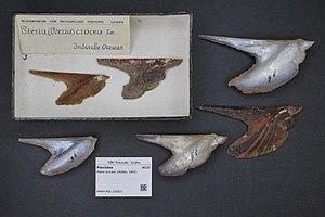 Pteria (genus) - Pteria avicular (Holten, 1802), museum specimens Naturalis