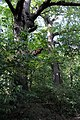 Naturdenkmäler Baum Managettagasse.jpg