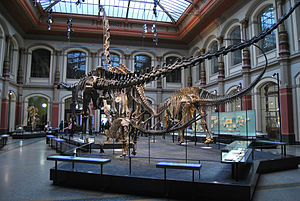 Natural History Museum, Berlin - The Dinosaur hall, reverse view. Kentrosaurus in the foreground, Diplodocus, Giraffatitan and Dicraeosaurus from left to right in the back.