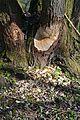 Naturschutzgebiet Haseder Busch - Biberverbiss (2).jpg