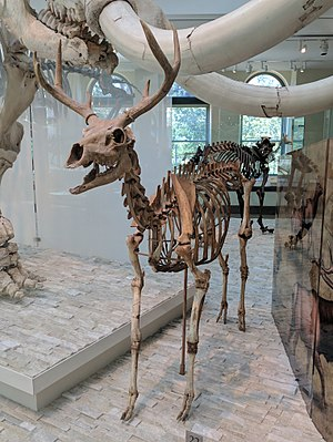 American mountain deer - Front view of skeleton