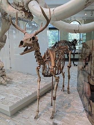 American mountain deer - Front view of skeleton
