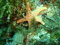 Nectria macrobrachia Large plated seastar P1021082.JPG