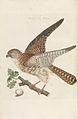 Nederlandsche vogelen (KB) - Falco tinnunculus (227pl).jpg