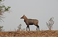 Neelgai Boselaphus tragocamelus by Dr. Raju Kasambe DSCN7833 (7).jpg